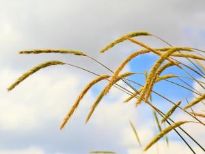 Farmáři z Plzeňského kraje čekají letos průměrnou úrodu obilovin