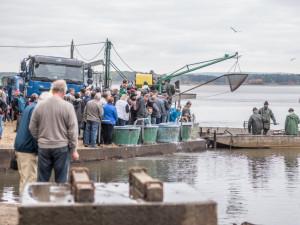 Klatovští rybáři zahájili podzimní výlovy, budou lovit dva měsíce