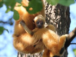 V plzeňské zoo se podruhé narodil ohrožený primát gibon bělolící