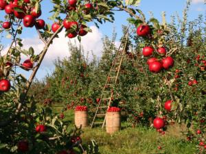 Sady Nebílovy u Plzně měly čtvrtinovou úrodu jablek proti loňsku