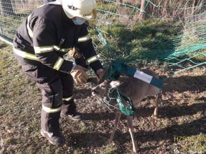 Srnce uvěznila síť na fotbalovém hřišti, na svobodu mu pomohli hasiči
