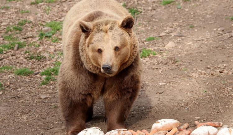 Čtveřice medvědů v plzeňské zoo se probudila ze zimního spánku a už dovádí ve výběhu