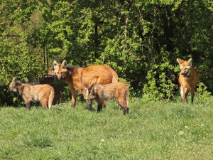 Návštěvníci plzeňské zoo mohou konečně sledovat nová mláďata vlka hřivnatého