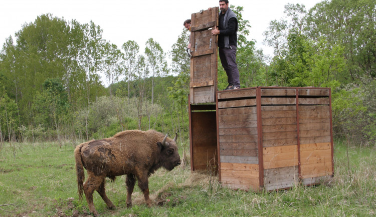 Býk Tábor dnes založil novou zubří dynastii. V rezervaci u Rokycan se připojil k samicím odchovaným u Milovic