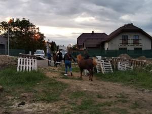 Uprchlé ovce a poníky odchytávali v plzeňských ulicích strážníci městské policie