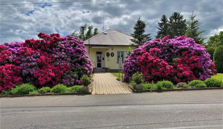 Rozkvetlé rododendrony se stávají turistickou atrakcí. Dejte pozor, až u nich budete brzdit!