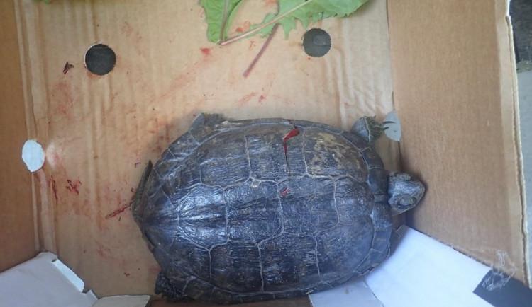 Zraněná želva skončila v péči zvířecích záchranářů