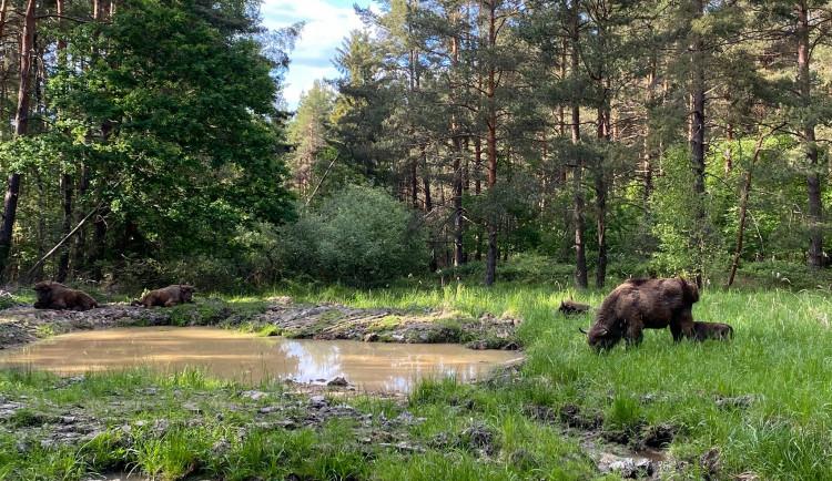 Velká radost v přírodní rezervaci u Rokycan! Na svět zde přišlo mládě zubra