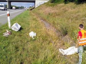 Masakr neopatrné labutí rodiny na dálnici D5 přežila se zraněním jen samice