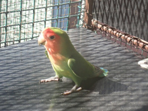 Zatoulaný papoušek zamířil k autosalonu a narazil do výlohy