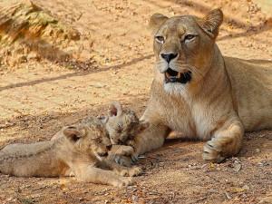 Zoo pokřtila dvě srpnová mláďata lva berberského jmény Fazan a Farida