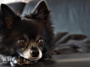 Z neoprávněného podnikání obvinili kriminalisté majitelku psí množírny z Rokycanska
