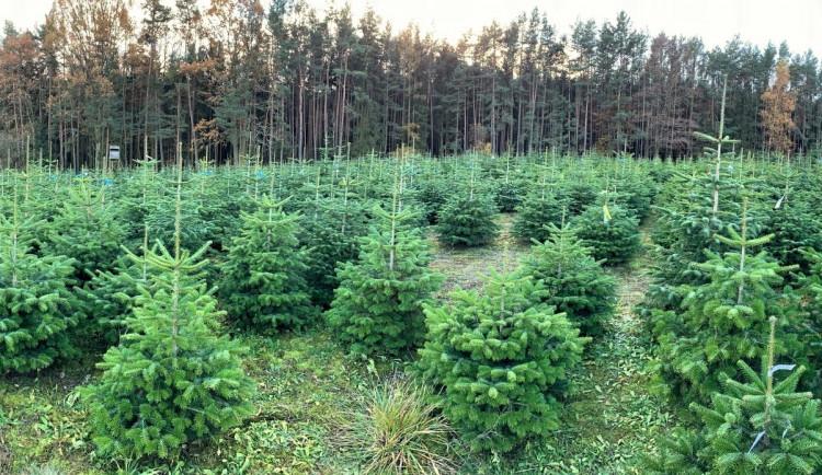 Klienti si na plantáži v říjnu vybrali a označili vánoční stromky, teprve teď se začnou řezat