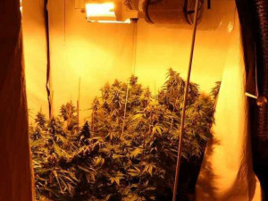 Sklidit už nedokázal, policisté zabavili muži téměř tři stovky rostlin konopí