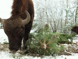 Zvířata v plzeňské zoo si pochutnávají jen na těch vánočních stromcích, které obchodníci neprodali