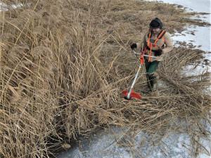 Zamrzlý rybník umožnil sekání přerostlých rákosových ostrůvků pro hnízdění vodních ptáků