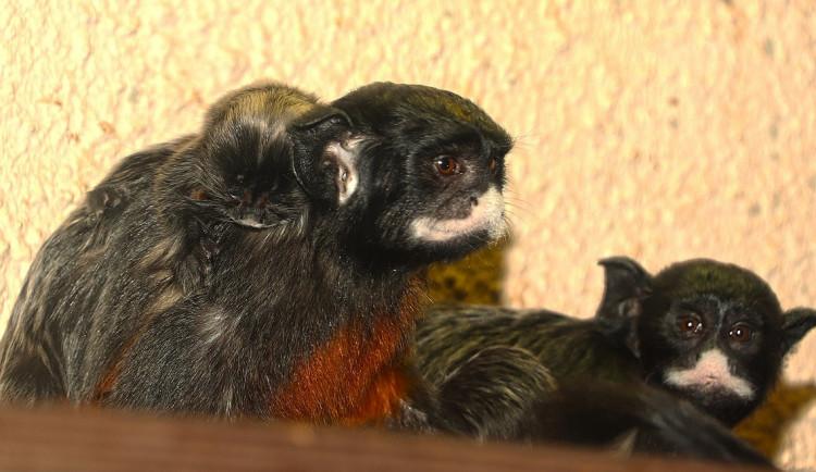 Prvním letošním mládětem v plzeňské zoo je tamarín bělohubý