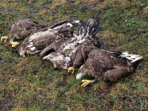 Masakr čtyř orlů mořských vyšetřuje policie, neznámý pachatel je na Klatovsku otrávil
