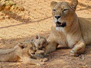 Zastupitelé Plzně přiklepli zoo osm milionů korun na nový výběh lvů berberských