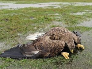 Na podporu vyšetřování otravy čtyř orlů mořských už lidé u Česka poslali 124 000 Kč