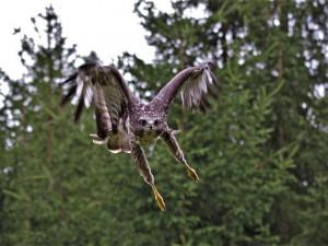 Létající fantóm je po roce zpět, na běžce opět u Plzně útočí známý dravec
