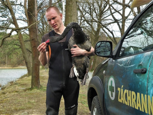 Unikátní černá labuť přiletěla na plzeňský rybník, záchranáři ji museli odchytit
