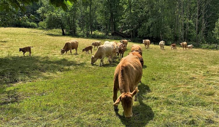 Agresivní kráva protrhla elektrický ohradník a zaútočila na dvojici seniorů kráčejících po cestě