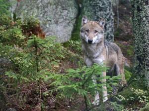 Obyvatele Domažlicka znepokojila informace, že se tam v blízkosti obce Rybník pohybuje vlk