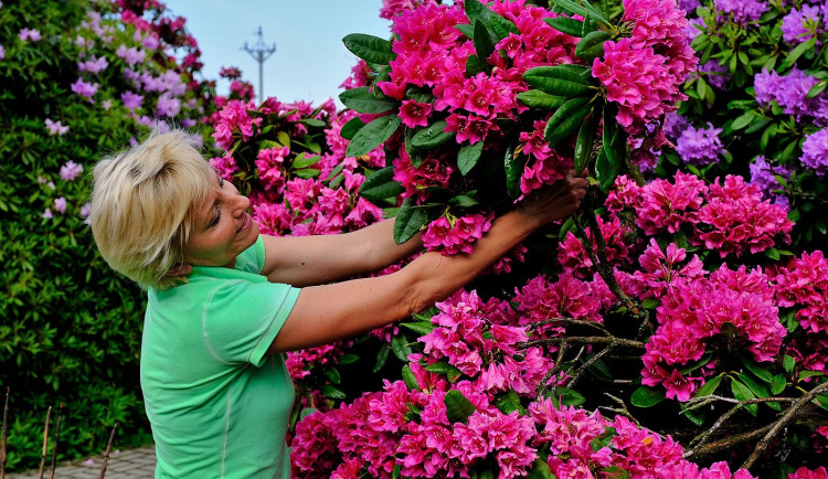 Slavné rododendrony na jižním Plzeňsku vykvetly s měsíčním zpožděním, letos mají i méně květů