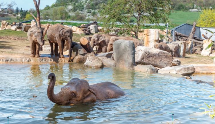Čtyři sloni by se mohli za pár let stát hvězdami plzeňské zoo, zahrada už zadala projekt nového pavilonu