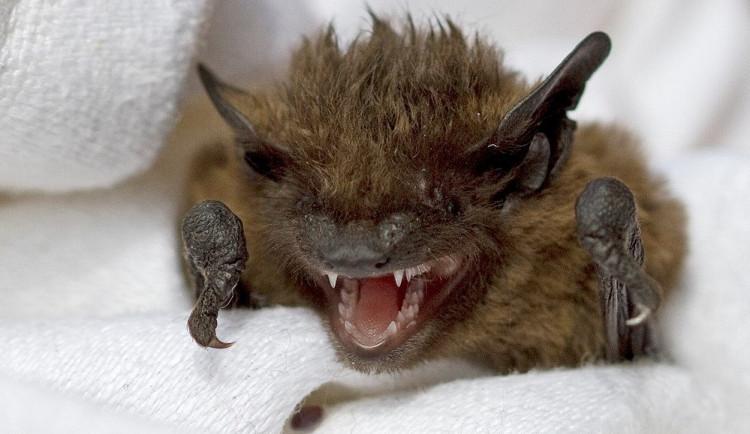 Neopatrní obyvatelé Plzně se i letos potýkají se stovkami netopýrů, kteří jim při větrání nalétají do bytů a domů