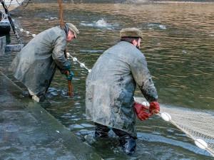 Klatovští rybáři zahájili podzimní výlovy, ceny vánočních kaprů podle nich mírně vzrostou