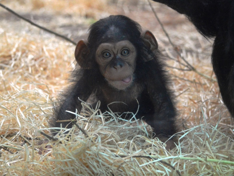 ZOO Plzeň a jeden z nejnovějších přírůstků, šimpanzí slečna Caila