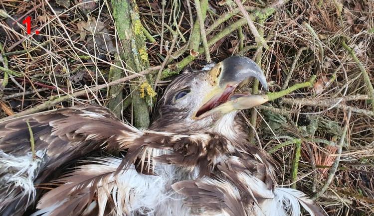 FOTOGALERIE: Otrava orlů mořských